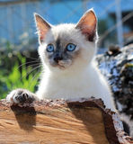 White, blue-eyed kitten. Eyed kitten hiding in the wood Royalty Free Stock Photo