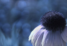 A white-blue flower on a blue blurred bokeh background. Close-up. Floral background. Soft focus. Stock Image