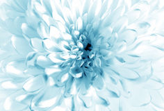 White - blue flower closeup royalty free stock images
