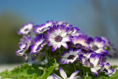 White and blue flowers in summer. White and blue flowers with a nice background Royalty Free Stock Photos