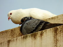 White and blue-grey pigeons together Royalty Free Stock Photos