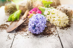 White and blue hyacinth with  shovel and earth on garden white wooden table Stock Photo