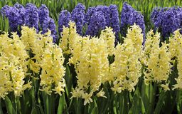 White and blue hyacinths, netherlands Stock Photos