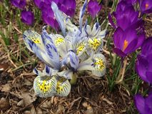 White and Blue Iris Reticulatas and Purple Crocuses Blossoming in Garden in Spring. Royalty Free Stock Photography