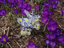 White and Blue Iris Reticulatas and Purple Crocuses Blossoming in Garden in Spring. Stock Photo