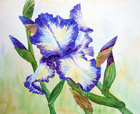 White Blue Iris Royalty Free Stock Photography