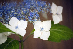 White and blue lacecap hydrangea flower Royalty Free Stock Photography