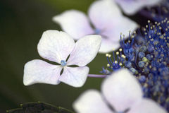 White and blue lacecap hydrangea flower Royalty Free Stock Photos