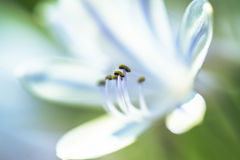 White and blue lily with pistil in focus Stock Photos