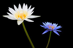 White and Blue Lotus on Black Background Royalty Free Stock Images