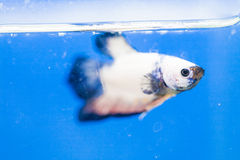 White and blue male siamese fighting fish. Close up Stock Images