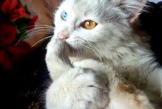 White Blue and Orange Eyed Cat Royalty Free Stock Photography
