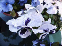 White and blue pansies flower with dew. Stock Photography