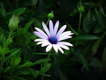 White and Blue Petal Flower Royalty Free Stock Image