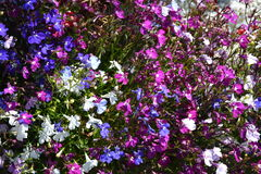 White, blue, pink and fushia coloured Lobelia erinus plants Stock Image