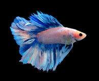 White and blue siamese fighting fish, betta fish on blackground. Stock Photos