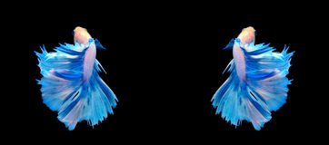 White and blue siamese fighting fish, betta fish isolated on bla Royalty Free Stock Images