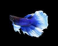 White and blue siamese fighting fish, betta fish isolated on bla Royalty Free Stock Image