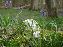 White bluebell. In Beech woodland Royalty Free Stock Image