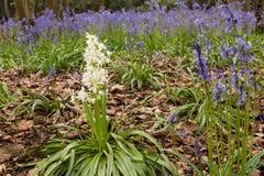 White Bluebells Royalty Free Stock Photo