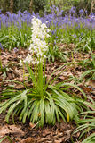 White Bluebells portrait Royalty Free Stock Images