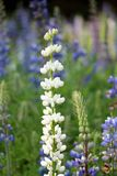 White Bluebonnet flower (Lupinus texensis) in garden. Beautiful White Bluebonnet flower (Lupinus texensis) in garden Royalty Free Stock Images