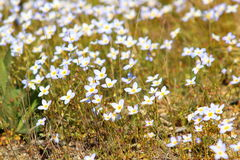 White Bluets in Bloom Royalty Free Stock Photo