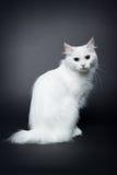 White bobtail kitten on dark background Stock Photos
