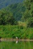 white bocianowy ciconia Obrazy Royalty Free