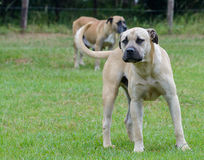 White Boerboel Royalty Free Stock Image