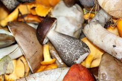 White boletus mushrooms and chanterelles Royalty Free Stock Photography