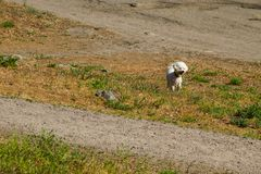 White bolognese dog in park. White bolognese dog in the park royalty free stock photo