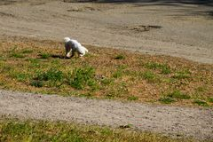 White bolognese dog in park. White bolognese dog walking in the park royalty free stock images