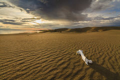White bone on the sand in the Gobi Desert. Stock Photo