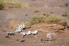 White bones in Gobi desert Stock Photos
