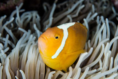 White Bonnet Anemonefish and Anemone Royalty Free Stock Photography