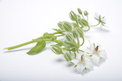 White Borago. Fresh from garden Royalty Free Stock Photos