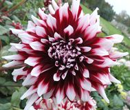 White-bordo dahlia in garden royalty free stock photo