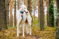 White Borzoi, Hunting dog in Spring Summer Forest. These dogs sp Stock Photos