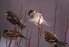 White boss sparrow on branch with its covey Royalty Free Stock Images
