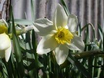 White botanical narcissuses stock photo