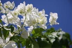 White Bougainvillea. Agaist blue sky, Calabria, Italy Royalty Free Stock Image