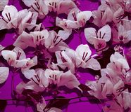 White bougainvillea Stock Images