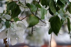 White bougainvillea from the branch of tree with green leaves stock photo