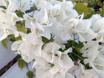 White bougainvillea. Flowers of a white Bougainville Stock Photos
