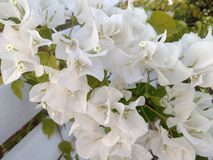 A White Bougainvillea. With four to five petals Royalty Free Stock Photography