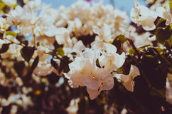 White Bougainvillea in the garden or nature park vintage t royalty free stock photo