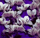White bougainvillea on purple painted wall Royalty Free Stock Photography