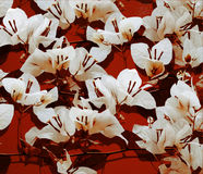 White bougainvillea on red painted wall Royalty Free Stock Photo