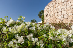White bougainvillea, Sharm el Sheikh, Egypt Royalty Free Stock Photography